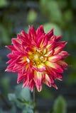 Flor anaranjada y amarilla de la dalia imagen de archivo libre de regalías
