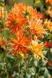Flor anaranjada y amarilla de la dalia en jardín Fotos de archivo libres de regalías