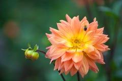 Flor anaranjada y amarilla de la dalia en jardín con la abeja Fotografía de archivo
