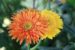 Flor anaranjada y amarilla del gerbera imagen de archivo