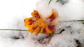 Flor anaranjada y primera nieve Imagen de archivo