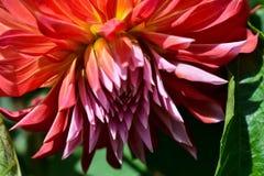Flor anaranjada y rosada del crisantemo Foto de archivo libre de regalías