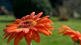 Flor anaranjado del gerbera con las hojas verdes Imagenes de archivo