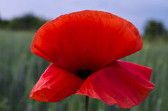 Flor apacible de la amapola Imagen de archivo