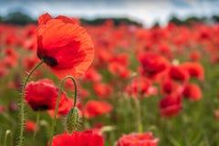 Flor apacible de la amapola con popply el brote de flor fotografía de archivo libre de regalías