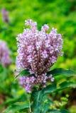 Flor apacible de la lila en jardín Imágenes de archivo libres de regalías