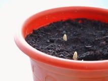 A flor aparecendo do açafrão brota no solo na primavera Imagem de Stock