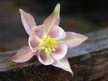 Flor aquilégia Imagem de Stock