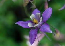 Flor aquilégia Imagens de Stock
