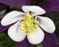 Flor aquilégia branca e roxa Imagens de Stock