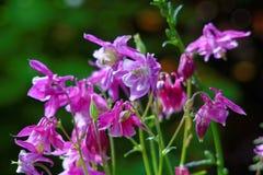 Flor aquilégia de Puprle na floresta Imagens de Stock