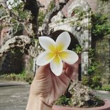 Flor aromática! Kulachuchi Fotos de Stock