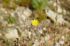 Flor ascendente cercana del diente de león en Alicante España imagen de archivo libre de regalías