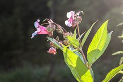 Flor ascendente cercana del glandulifera de Impatiens/del bálsamo Himalayan en flor en Serbia Kosovo imagenes de archivo