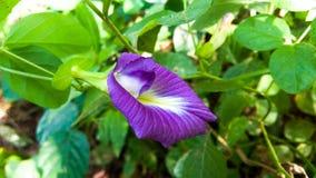 Flor asiática de los pigeonwings imagenes de archivo