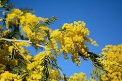 Flor australiana del acacia, también conocida como mimosa Imagen de archivo libre de regalías