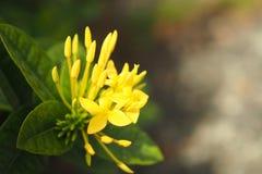 Flor australiana encantadora amarilla del verano Imagen de archivo libre de regalías