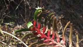 Flor australiana occidental de la pata de canguro almacen de metraje de vídeo