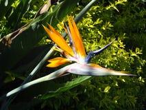 Flor ave de paraiso del pájaro del paraíso Imagenes de archivo