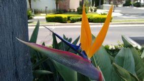 Flor ave del paraíso - Bird of paradise flower. Royalty Free Stock Photo