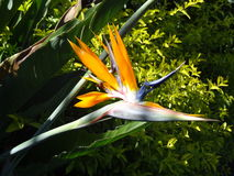 Flor avenida de paraiso do pássaro do paraíso Imagens de Stock
