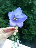 Flor azul à disposição Fotos de Stock