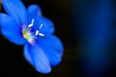 Flor azul Imágenes de archivo libres de regalías