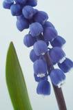Flor azul Fotografía de archivo