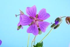 Flor azul Foto de archivo