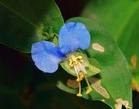 Flor azul Foto de Stock Royalty Free