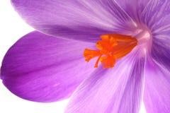 Flor azul foto de archivo libre de regalías