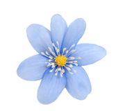 Flor azul aislada Foto de archivo libre de regalías