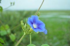 Flor azul bonita Imagens de Stock
