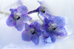 Flor azul congelada do delphinium fotos de stock royalty free