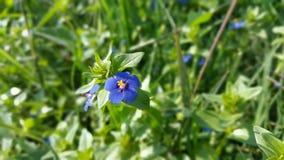 Flor azul bonita em campos verdes Fotografia de Stock Royalty Free