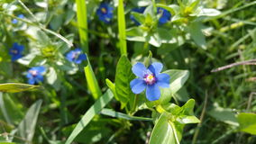 Flor azul bonita em campos verdes Imagens de Stock Royalty Free