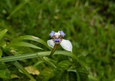 A flor azul branca da íris no Akaka cai parque estadual na ilha grande de Havaí fotos de stock royalty free