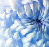 Flor azul branca do crisântemo closeup Macro Imagens de Stock