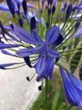 Flor azul com pétalas longas imagens de stock royalty free
