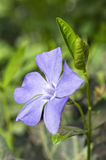 Flor azul con las hojas verdes Foto de archivo