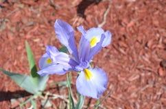 Flor azul con rocío de la mañana Imágenes de archivo libres de regalías