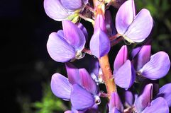 Flor azul con un descenso de rocío Imagen de archivo libre de regalías
