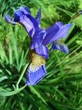 Flor azul da íris Fotos de Stock