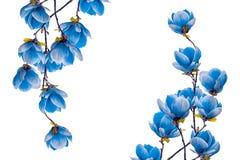 Flor azul da flor da magnólia isolada no fundo branco Fotografia de Stock Royalty Free