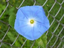 Flor azul da glória de manhã fotografia de stock royalty free