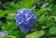 Flor azul da hortênsia Fotos de Stock Royalty Free