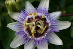 Flor azul da paixão Fotografia de Stock