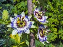 Flor azul da paixão (caerulea do Passiflora) imagem de stock royalty free