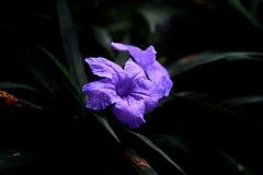 Flor azul das flores no jardim fotos de stock royalty free