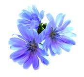 Flor azul de dibujo de la achicoria aislada en blanco Fotos de archivo libres de regalías